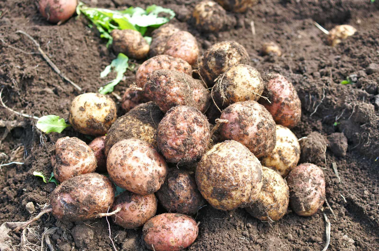 patate8